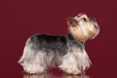 Young Yorkie on dark red background Royalty Free Stock Image