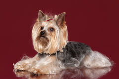 Young Yorkie on dark red background Stock Photography