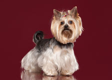Young Yorkie on dark red Royalty Free Stock Images