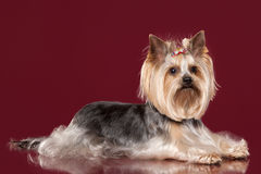Young Yorkie on dark red background Stock Photo