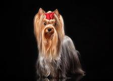 Young Yorkie female dog on black background Stock Photo