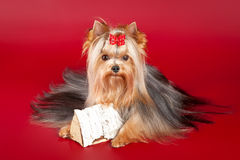 Young Yorkie with log. On dark red background Stock Image