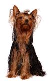 Young Yorkie with oily hair. Isolated on white Royalty Free Stock Photos