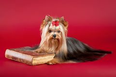 Young Yorkie with old book. On dark red background Stock Image
