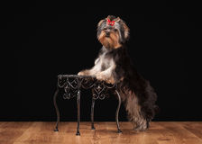 Young yorkie puppy on table with wooden texture Stock Photos