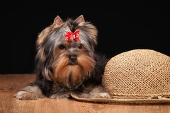 Young yorkie puppy on table with wooden texture Royalty Free Stock Photos