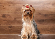Young yorkie puppy on table with wooden texture. Yorkie puppy on table with wooden texture Stock Photo