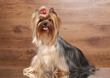 Young yorkie puppy on table with wooden texture. Yorkie puppy on table with wooden texture Royalty Free Stock Image