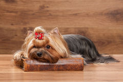 Young yorkie puppy on table with wooden texture Royalty Free Stock Photo