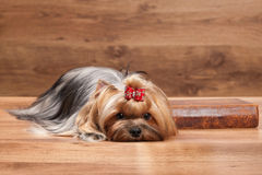 Young yorkie puppy on table with wooden texture Stock Photography
