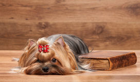 Young yorkie puppy on table Royalty Free Stock Photo