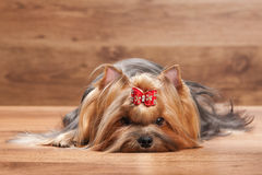 Young yorkie puppy on table with wooden texture Royalty Free Stock Photography