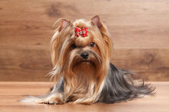Young yorkie puppy on table with wooden texture. Yorkie puppy on table with wooden texture Stock Photography