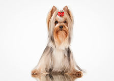 Young yorkie puppy on white background. Yorkie puppy on white background Royalty Free Stock Image