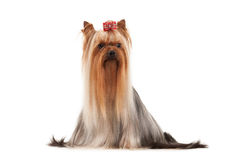 Young yorkie puppy on white gradient background Stock Photos