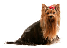 Young yorkie on the white Royalty Free Stock Photography