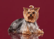Young Yorkies on dark red background Stock Images