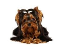 Young Yorkshire Terrier. Isolated on the white background Stock Photo