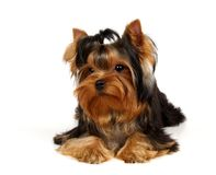 Young Yorkshire Terrier. Isolated on the white background Royalty Free Stock Photo