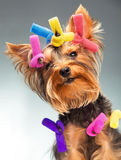 Young Yorkshire Terrier Stock Photography