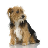 Young Yorkshire Terrier Stock Images
