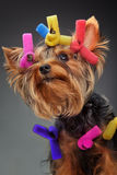 Young Yorkshire Terrier Royalty Free Stock Image