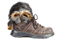Young yorkshire terrier Royalty Free Stock Photos