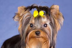 Young Yorkshire Terrier close-up Royalty Free Stock Photography