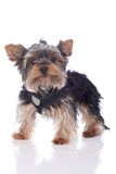 Young yorkshire terrier dog Stock Photography
