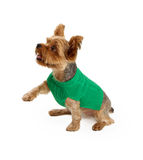 A Young Yorkshire Terrier Extending His Paw Stock Photo