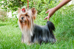 Young yorkshire terrier on the grass Royalty Free Stock Photography