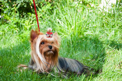 Young yorkshire terrier on the grass Royalty Free Stock Image