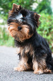 Young yorkshire terrier on the grass Stock Photography