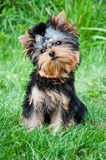 Young yorkshire terrier on the grass Stock Photos