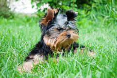 Young yorkshire terrier on the grass Stock Image