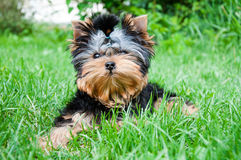 Young yorkshire terrier on the grass Royalty Free Stock Photos