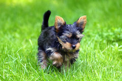 Young Yorkshire Terrier is having fun Royalty Free Stock Photo