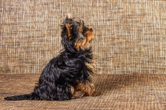 Young yorkshire terrier at home Stock Photo