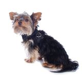 Young yorkshire Terrier Royalty Free Stock Photo