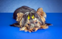 Young Yorkshire Terrier lying Stock Photos