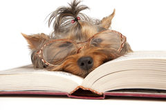 Young Yorkshire Terrier on open book Stock Images