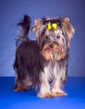 Young Yorkshire Terrier standing Royalty Free Stock Photo
