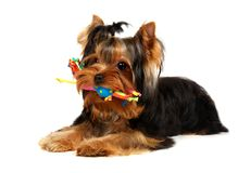 Young Yorkshire Terrier with a toy. Isolated on the white background Royalty Free Stock Images