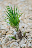 Young Yucca Plant Royalty Free Stock Photo