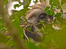 A Young Zanzibar Red Colobus in the forest Royalty Free Stock Photography