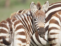 Young Zebra Royalty Free Stock Image