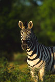 Young Zebra Royalty Free Stock Photo