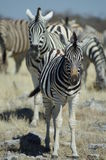 Young Zebra. A young zebra in a herd of wild zebras in Namibia, Africa Royalty Free Stock Photos