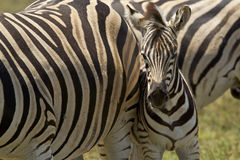 Young Zebra Royalty Free Stock Photos