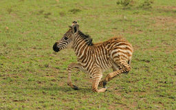 Young Zebra Stock Image
